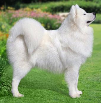 Собаки лайки: фото лаек